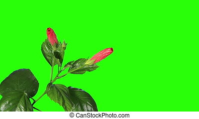 Blooming red Hibiscus flower buds green screen, FULL HD....