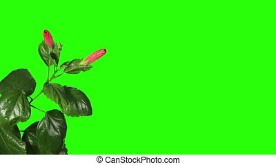 Blooming red Hibiscus flower buds green screen, FULL HD. (...