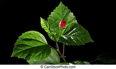 Blooming red Hibiscus on a black background (Hibiscus...