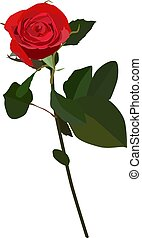 Blooming red rose vector flat isolated illustration -...