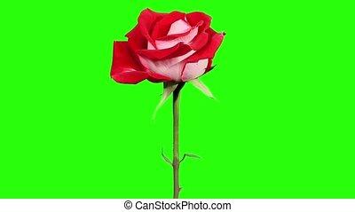 Blooming red roses flower