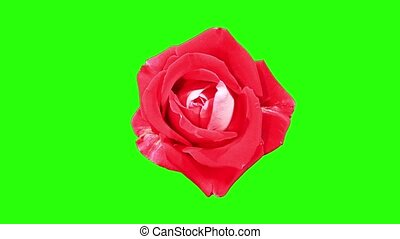 Blooming red roses flower buds green screen, FULL HD. (Rose...