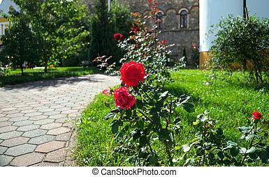 Blooming red roses in monastery garden