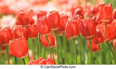 Blooming red tulips in the springtime