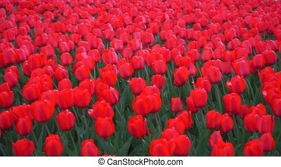 Blooming red tulips pan shot clip