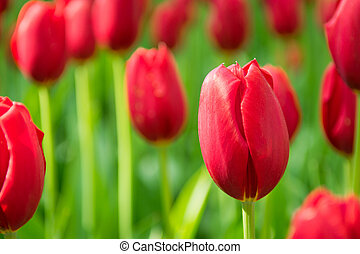 Blooming red tulips, selective focus, shallow depth of field