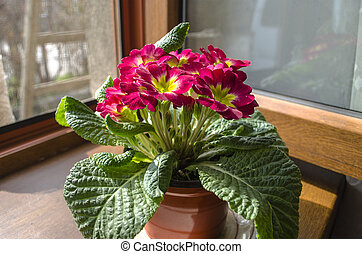 Blooming red violet at the open window on the windowsill