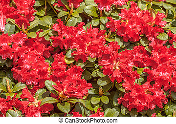 Blooming rhododendron - Background of red rhododendron ...