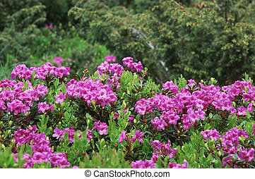 Blooming rhododendron bush - Blooming meadow with pink...