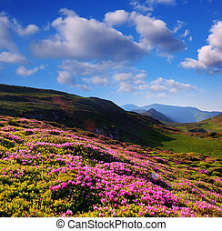 Blooming rhododendron in the mountains - Summer landscape...