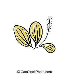 Blooming Ribwort Plantain Plantago lanceolata, narrowleaf...