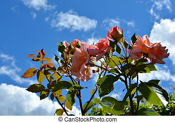 Blooming rose Bush in the garden. Rose flowers on a background of blue sky and white clouds.