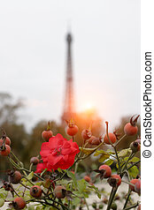 Blooming rosehip in red against the background of the Eiffel Tower