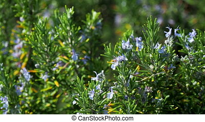 Blooming Rosmar nus officin lis or rosemary. Natural...