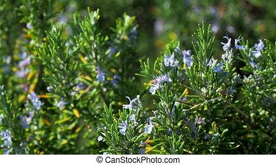Blooming Rosmar nus officin lis or rosemary. Natural...