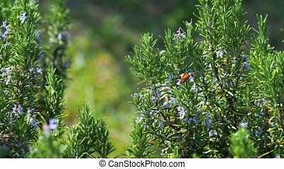 Blooming Rosmar?nus officin?lis or rosemary. Natural...