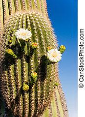Blooming Saguaro Cactus Close Up - Close up reveals how...