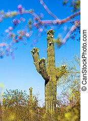 Blooming Saguaro Cactus in Arizona