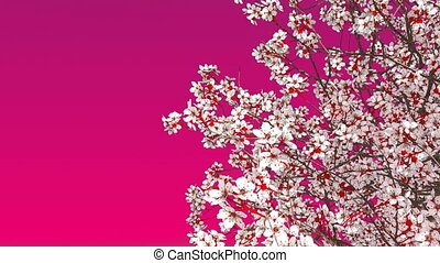 Blooming sakura cherry tree on pink background 4K