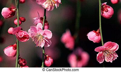 Blooming sakura on the blurred black background