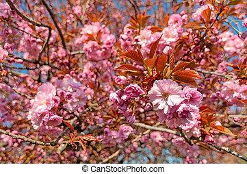 Blooming sakura tree with tender pink blossoms