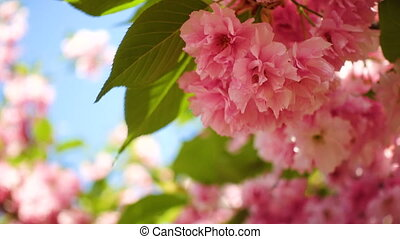 blooming sakura tree with the beautiful pink flowers