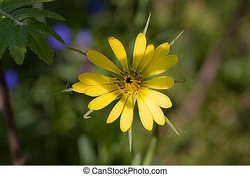 blooming salsify in spring