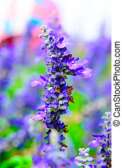 Blooming Salvia flowers - A close up picture of purple...