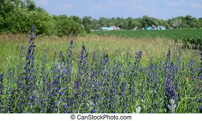Blooming Salvia Superba on outskirts of the village -...