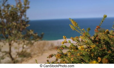 Blooming Sand Dune Flowers, Qld Island, Australia - Close-up...