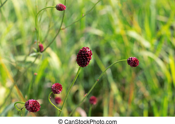 Blooming sanguisorba officinalis wild medical plant. Great Burnet red flowers on green background