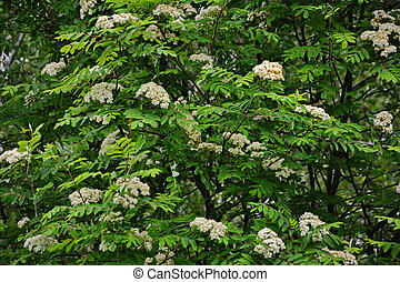 Blooming sorbus close-up. White flowers of mountain ash.