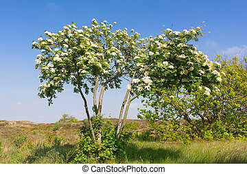 White flowers in the bloomin sorbus