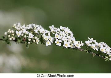 blooming spiraea in spring