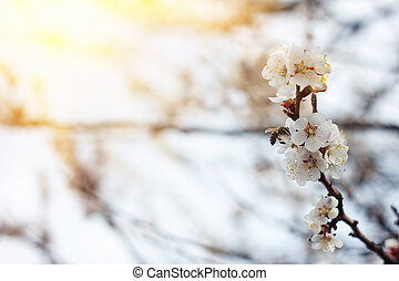 blooming sprigs of cherry in