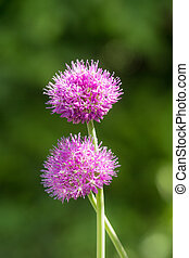 blooming spring onion