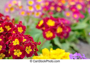 Blooming spring primulas in colorful flower bed