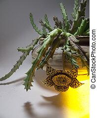 blooming Stapelia variegata