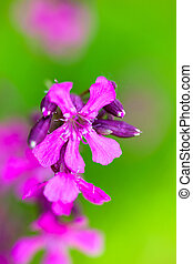 Blooming sticky catchflies (Silene viscaria). Close up.