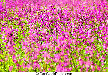 Blooming sticky catchflies (Silene viscaria) in the green summer meadow