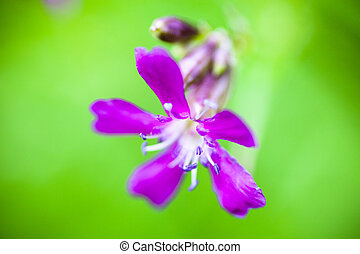 Blooming sticky catchfly (Silene viscaria). Close up.