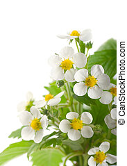 Blooming strawberries on a white background