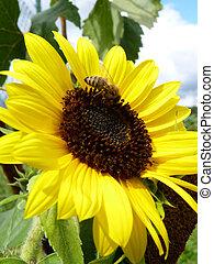 Blooming Sunflower and Bee in Garden