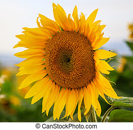 Blooming sunflower close up
