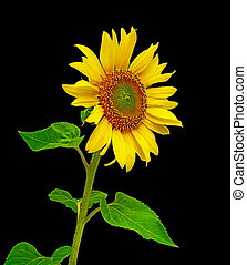 sunflower close-up on a black background