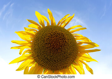 blooming sunflower in sunlight against the backdrop of a bright sky. Agronomy, agriculture and botany.