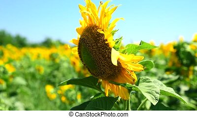 blooming sunflower in the middle of the field