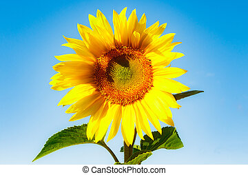 Blooming sunflower on a background of blue sky