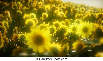 blooming, sunflowers, лето, поздно, 8k