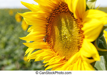 Blooming sunflowers and honey bees pollinating them under a ...